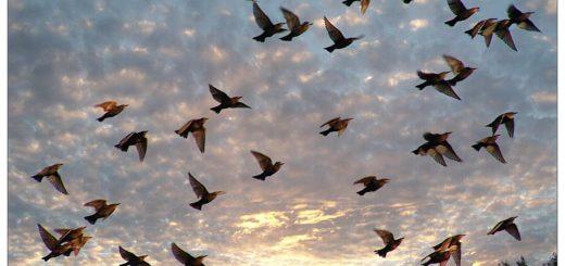 из села улетели голуби