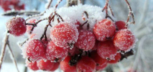 карминные сережки рябины в снегу